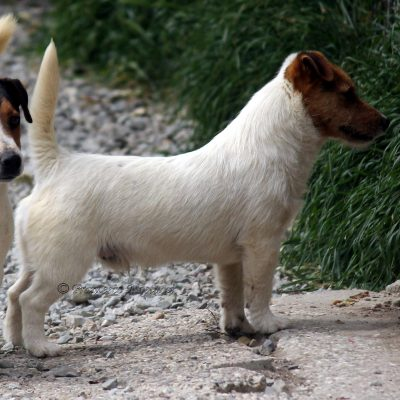 Jack_Russell_Terrier ALLEVAMENTO DI CASTELL'ANSELMO